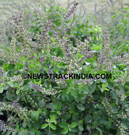 Tulsi Plant Images Image Tulsi Herbal Plant